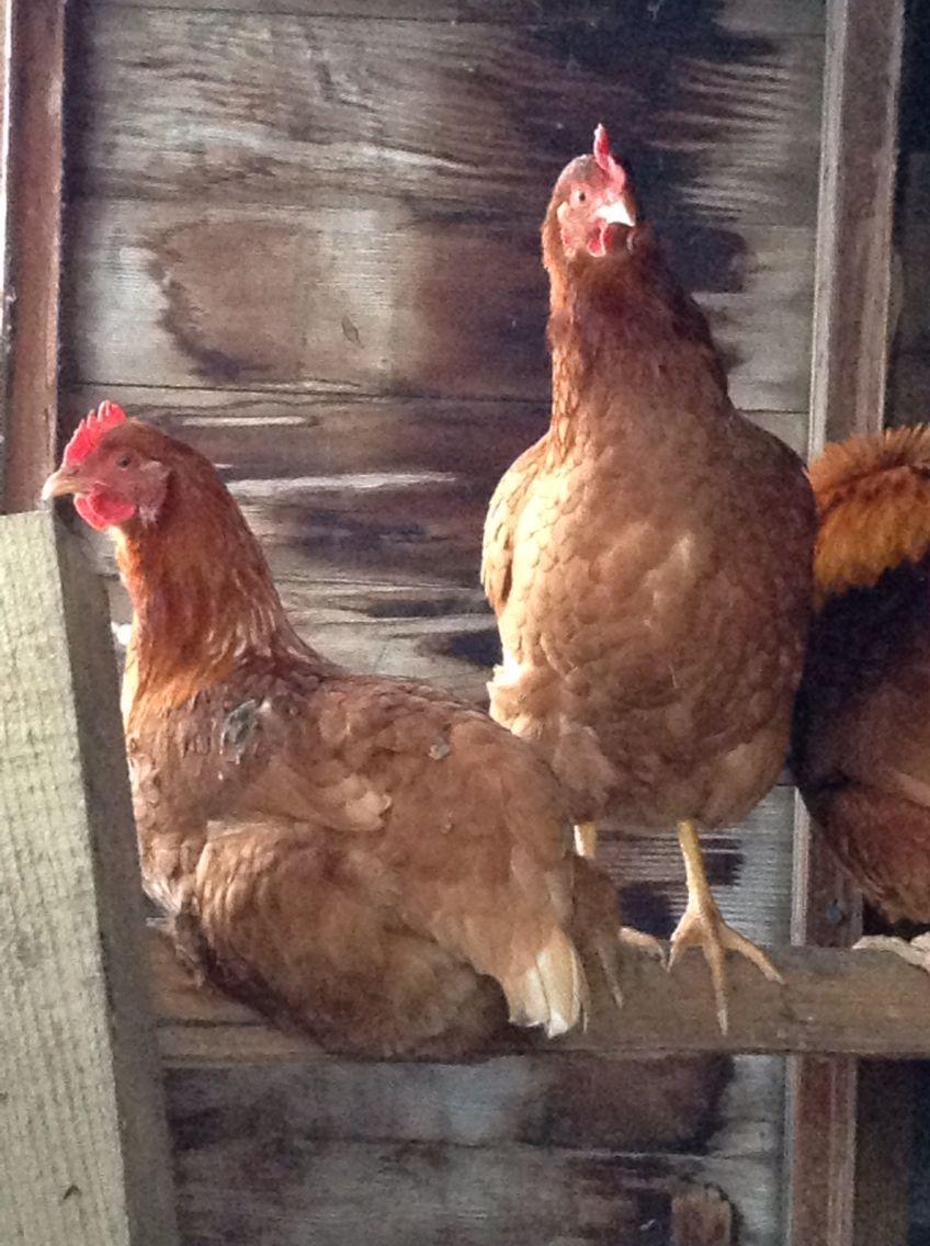entire-chicken en grávida