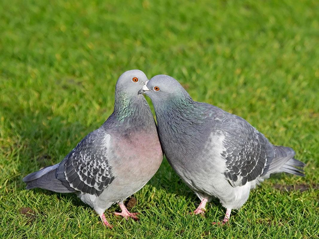 pigeon en grávida