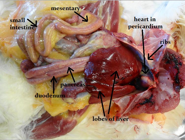 poultry-liver en grávida