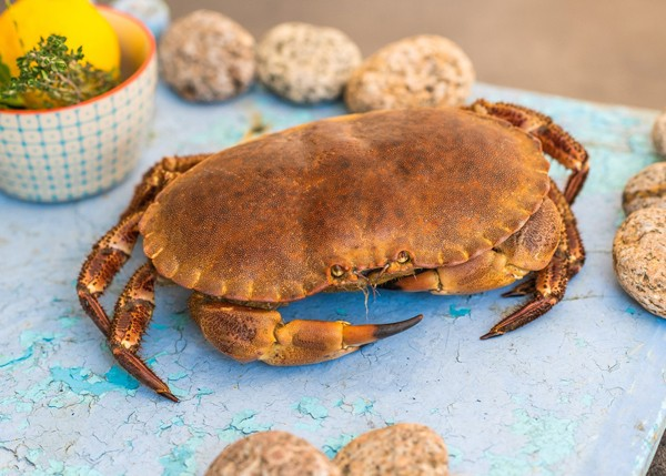 crabe-ou-tourteau enceinte