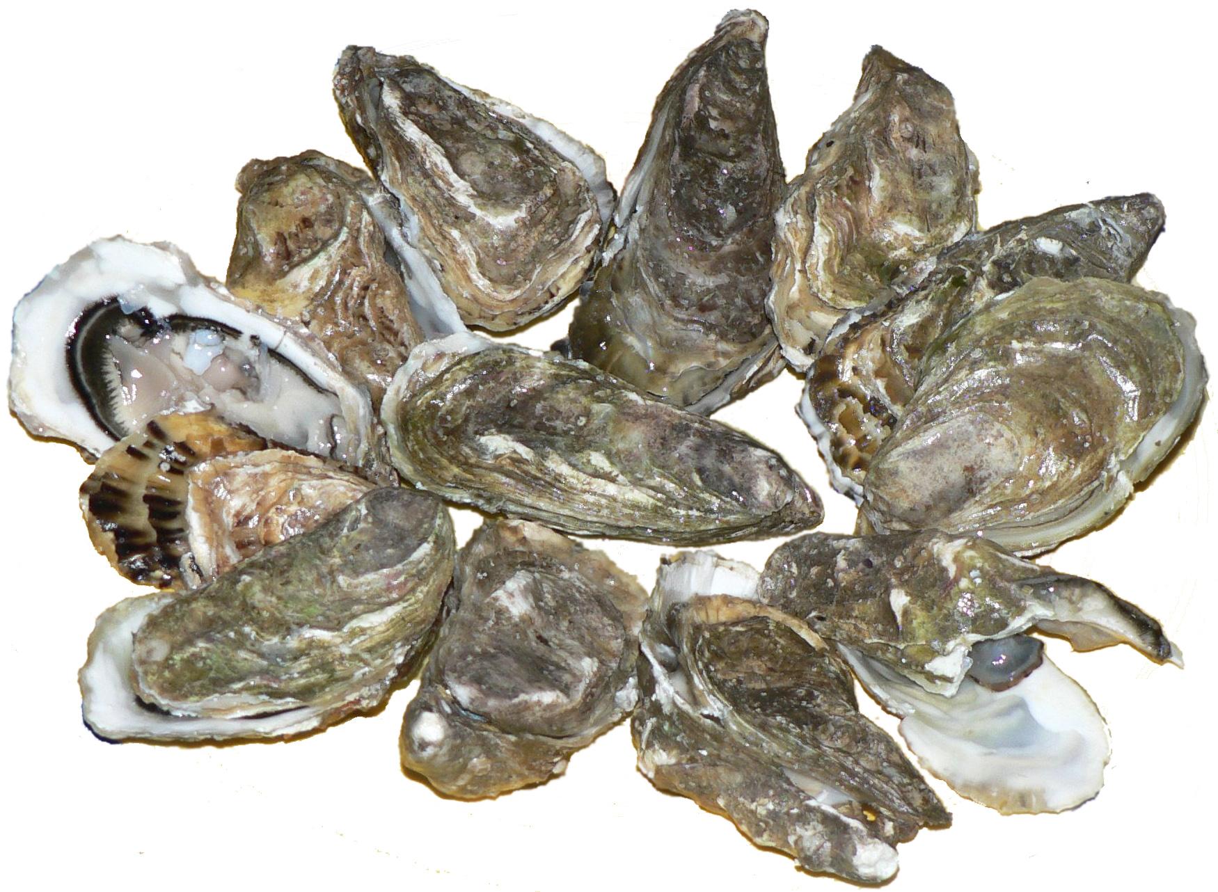 pacific-oyster en grávida
