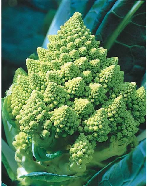 chou-romanesco-ou-brocoli-a-pomme enceinte