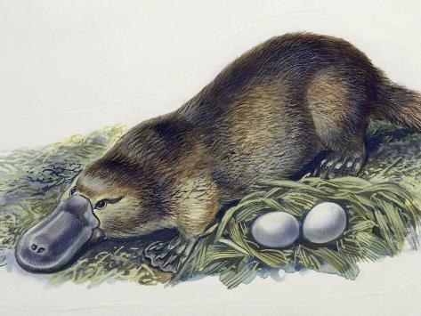 female-duck-egg en grávida