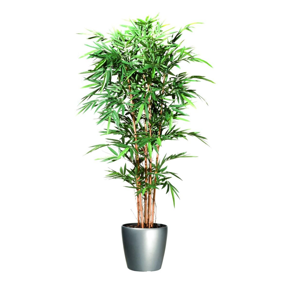 bambou enceinte