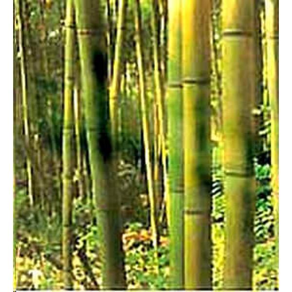bambusa-arundinacea enceinte