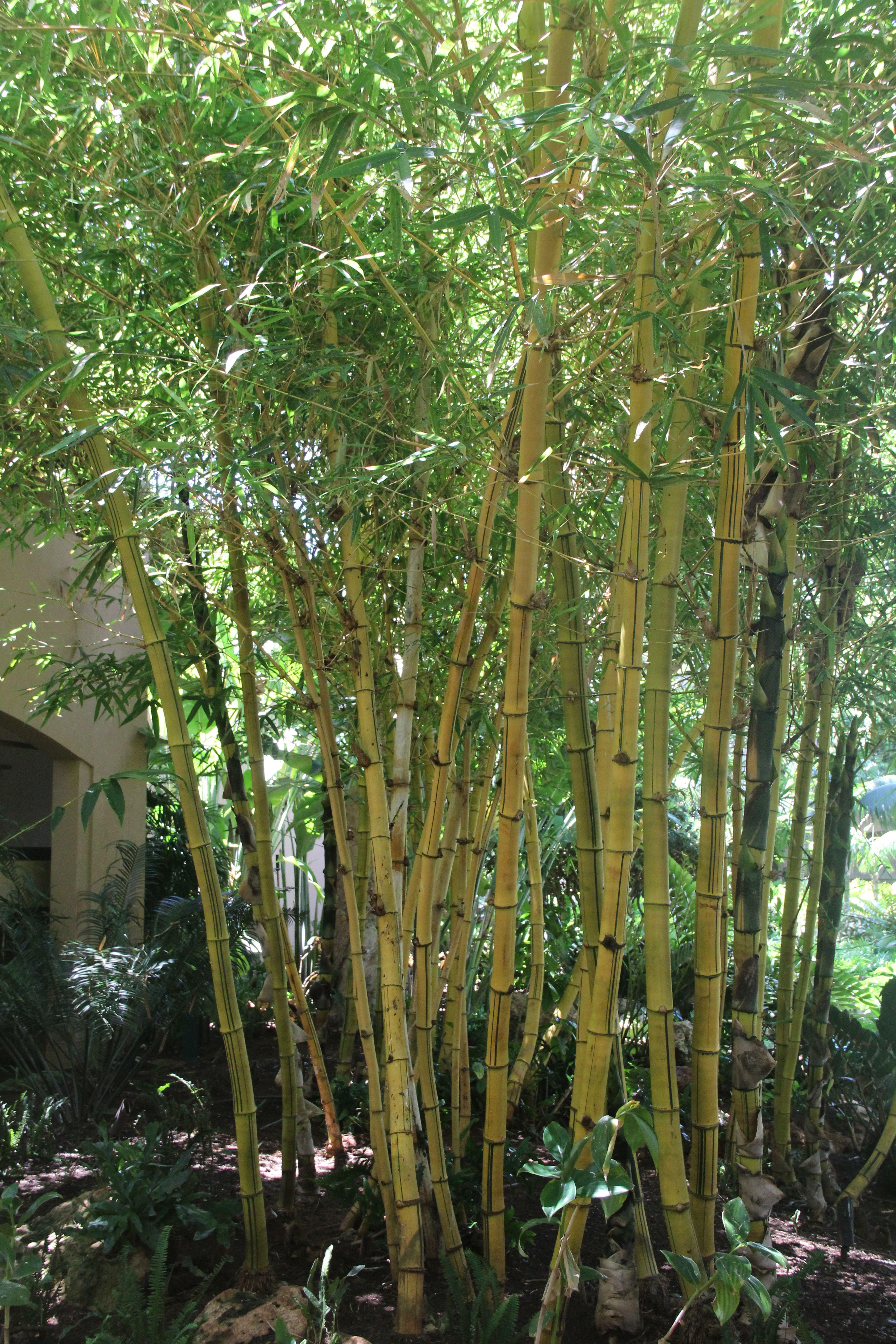 bambusa-vulgaris enceinte