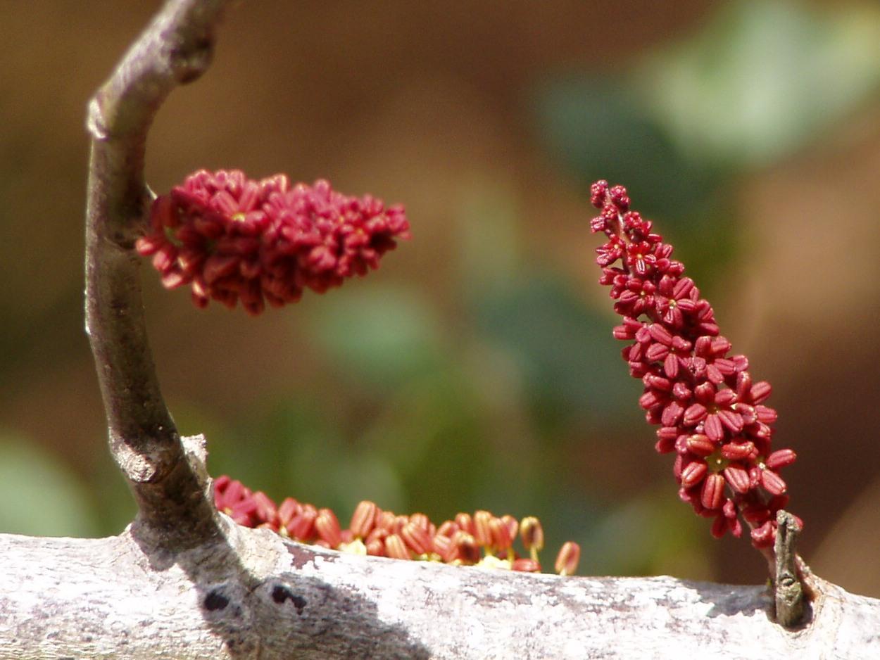 ceratonia-siliqua enceinte