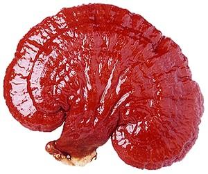 ganoderma-lucidum enceinte