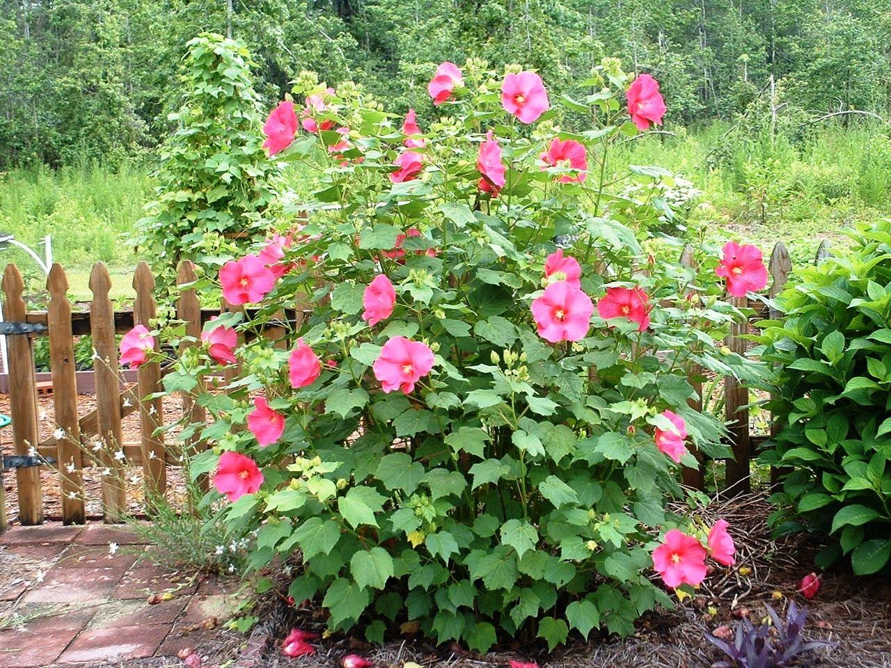 hibiscus enceinte