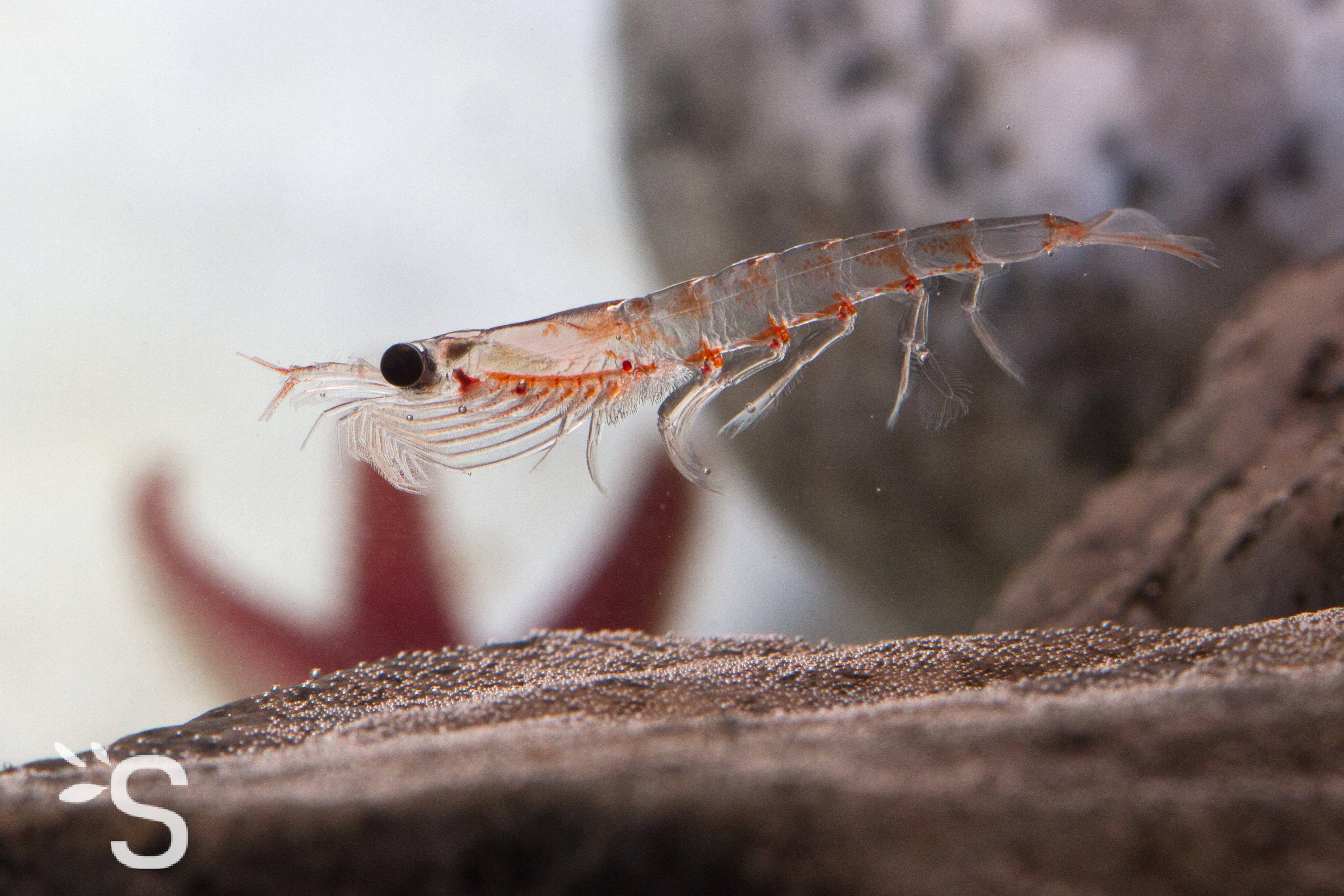 krill enceinte
