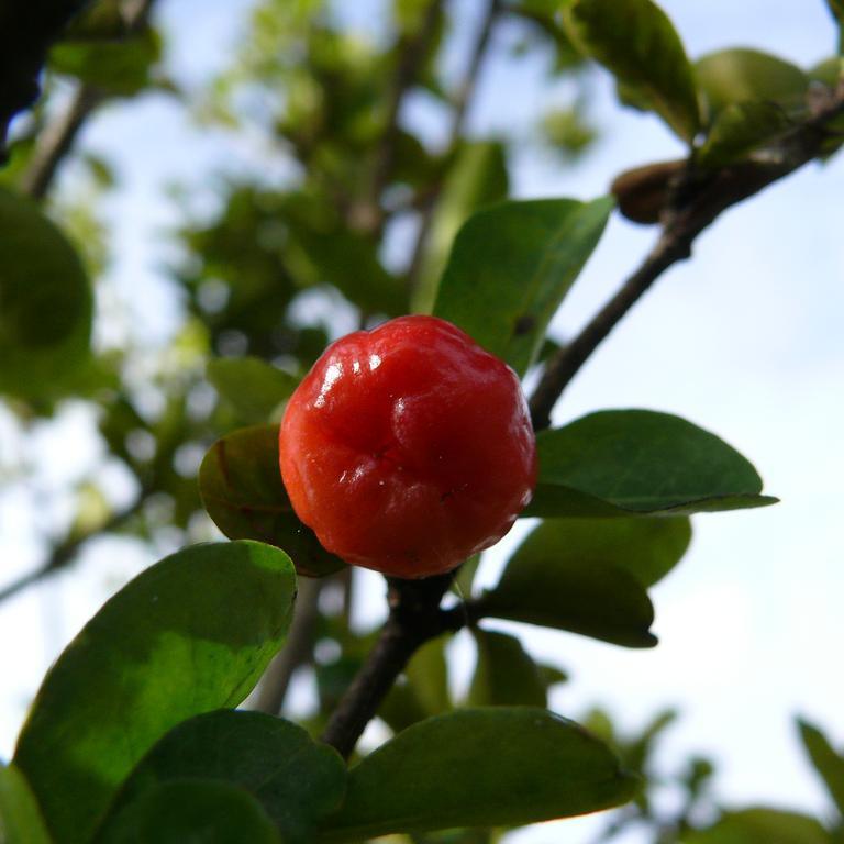 malpighia-puncifolia enceinte
