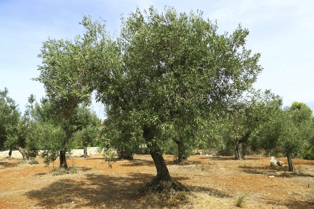olivier enceinte