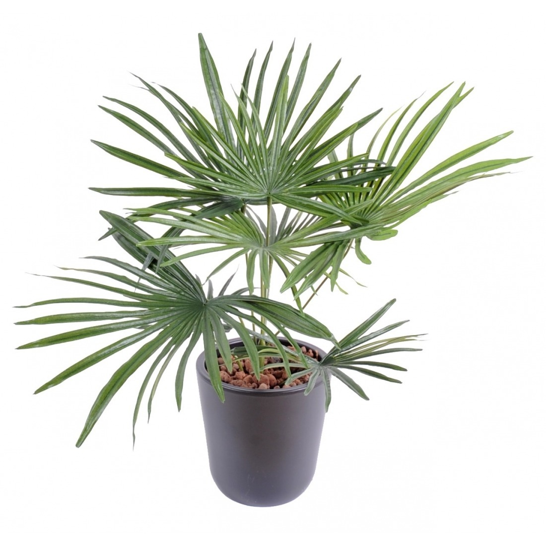 palmier-nain enceinte