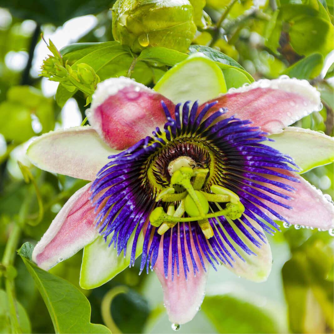 passiflora-edulis enceinte