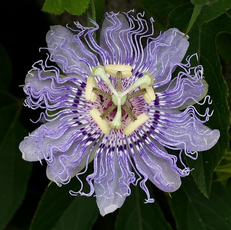 passiflora-incarnata enceinte