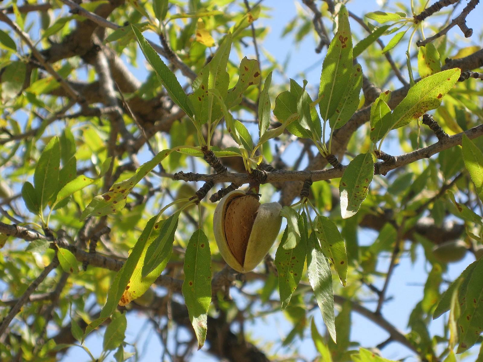 prunus-amygdalus enceinte