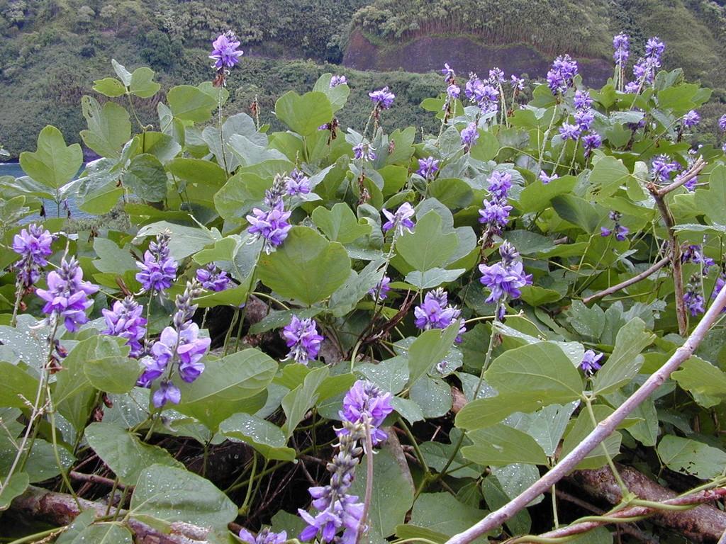 pueraria-montana enceinte