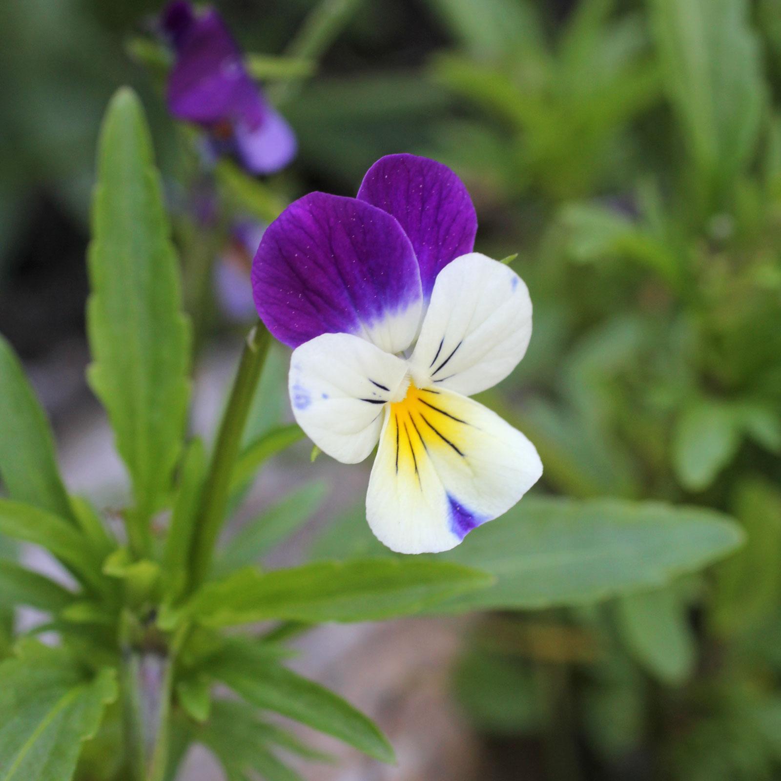 viola-tricolor enceinte