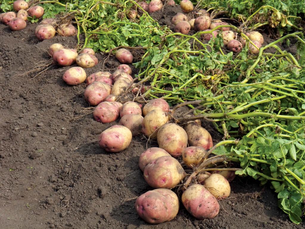potatoes pregnant