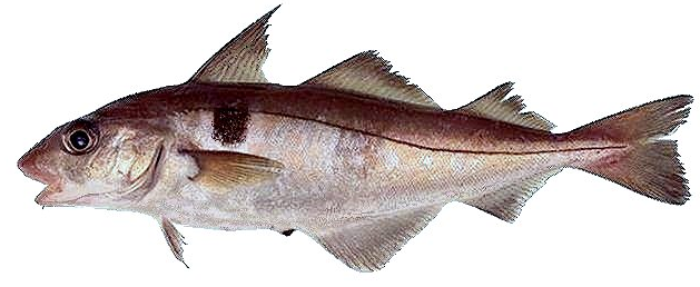 aiglefin-ou-haddock enceinte
