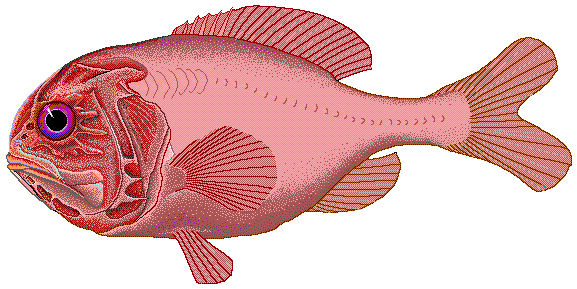 orange-roughy enceinte