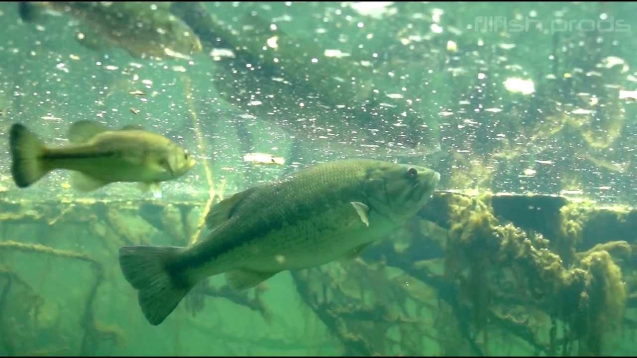 poisson-sauvage enceinte