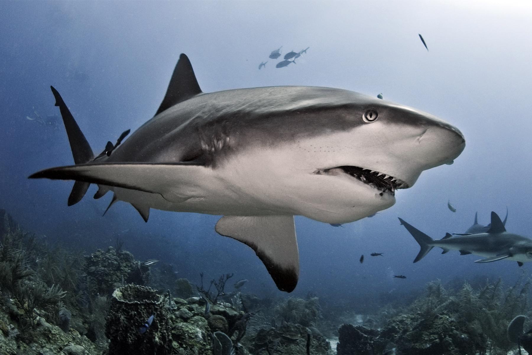 requin enceinte