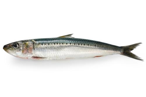 sardines enceinte