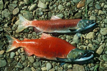 saumon-du-pacifique enceinte