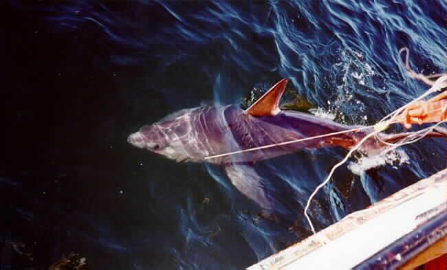 veau-de-mer-voir-maraiche enceinte