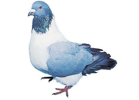 pigeon enceinte